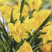 Duni Servietten 33 x 33 cm Easter Daffodils, Osterglocken, Nazissen 20 Stück