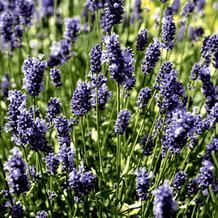 Paper+Design Servietten Tissue Lavender Field 33 x 33 cm 20er